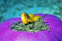 Anemone Fish. Clown fish between the nettle branches of an anemone Stock Image