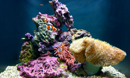 Clown fish in ocean coral reef Royalty Free Stock Photos