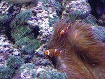 Clown Fish stock afbeeldingen