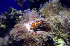 The Clown fish ocellaris . Royalty Free Stock Photography