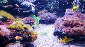 Clown fish and other exotic fish swim in aquarium with sea plants on background. Underwater life, tropical fauna, ocean inhabitants stock video footage