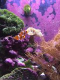 Clown fish pair Royalty Free Stock Images
