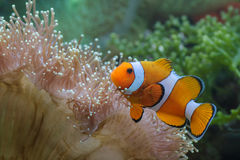 Clown fish. Photo of fish and sea animals, photo taken from the aquarium from one of the marine biota collection center royalty free stock photo
