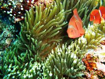 Clown fish Royalty Free Stock Photo