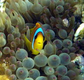 Clown Fish in purple anemone Stock Photography