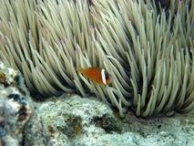 Clown Fish in purple tip anemone Stock Photo