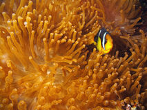 Clown Fish with red anemone royalty free stock images