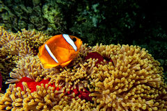 Clown fish in the red and brown anemone over the black background Royalty Free Stock Photo