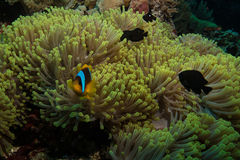 Clown fish in the red sea Royalty Free Stock Photo