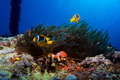 Clown fish in the red sea Stock Images