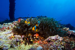 Clown fish in the red sea Royalty Free Stock Photography