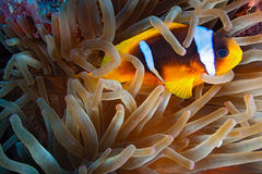 Clown fish on the reef Royalty Free Stock Images