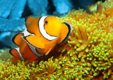 The Clown Fish on a reef. The Clown Fish (Amphiprion ocellaris) on a reef. Macro with shallow DOF Stock Photos