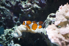 Clown fish reef Stock Photos