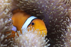 Clown Fish. In reef tank Stock Photography