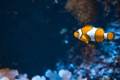 Clown fish and rocks in marine aquarium. Reef fish swimming royalty free stock photo