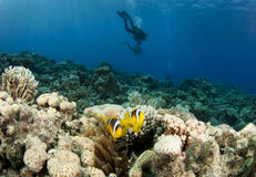 Clown fish and scuba divers Stock Images