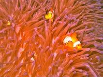 Clown fish and sea anemone. Closeup of clown fish swimming in sea anemone Stock Photo