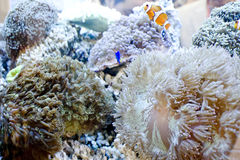 Clown fish and sea anemone Royalty Free Stock Photo
