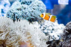 Clown fish and sea anemone Stock Photo