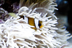 Clown fish and sea anemone Royalty Free Stock Image
