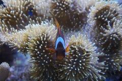 Clown fish with sea anemone coral at dark light aquarium stock image