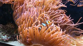 Clown fish in a sea anemone Royalty Free Stock Image
