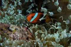 Clown fish in sea anenome. A clown fish nestled in a sea anenome Stock Photography