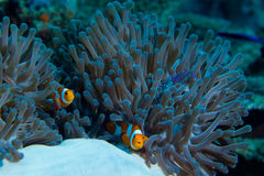 Clown fish in sea anenome with a shrimp. A symbiotic relationship between clown fish, sea anenome and a small shrimp Royalty Free Stock Photos