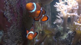 Clown Fish stock footage