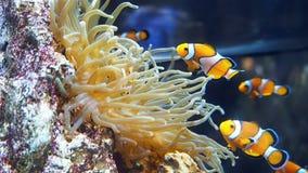Clown Fish Swimming stock video
