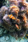 Clown Fish swimming from the anemone Anemone Royalty Free Stock Photography