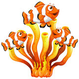 Clown fish swimming around coral reef Stock Images