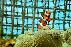 Clown fish swimming in carol. Taken in okinawa Royalty Free Stock Photography