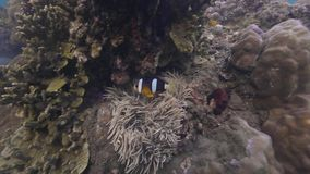Clown fish swimming in coral reef and seaweed underwater view. Anemone fish on coral reef background. Wild underwater.  stock video