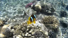 Clown fish swimming in coral reefs. Red Sea. Egypt stock video footage