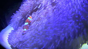 Clown Fish Swimming Stock Photography