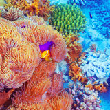 Clown fish swimming near colorful corals. Clown fish swimming in coral garden, beautiful undersea nature, majestic marine life, diving on Maldives island Stock Photography