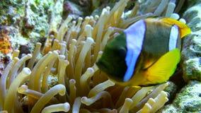 Clown fish swimming into Sea Anemone Stock Photo