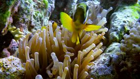 Clown fish swimming into Sea Anemone stock footage