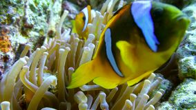 Clown fish swimming into Sea Anemone Stock Images