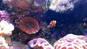 Clown fish swimming in a tank with coral stock video footage