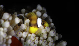 Clown fish. Royalty Free Stock Image