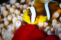 Clown fish. Royalty Free Stock Photo