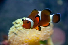 Clown Fish with Umbrella Coral. A clownfish with a pink umbrella coral in the background Stock Photography