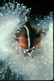 Clown fish in White Anemone. Clown Fish, hovering in a White Anemone Royalty Free Stock Photos