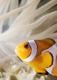 Clown Fish1. Image of clown fish with anemone Royalty Free Stock Photos
