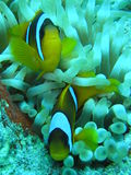 clown fish3 Royaltyfria Bilder