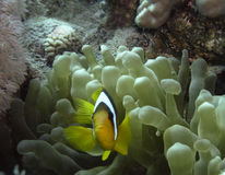 Clown fishes. Two-banded anemonefishes (Amphiprion bicinctus) among stinging sprouts of host sea anemone royalty free stock photos