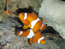 Clown fishes royalty free stock photos